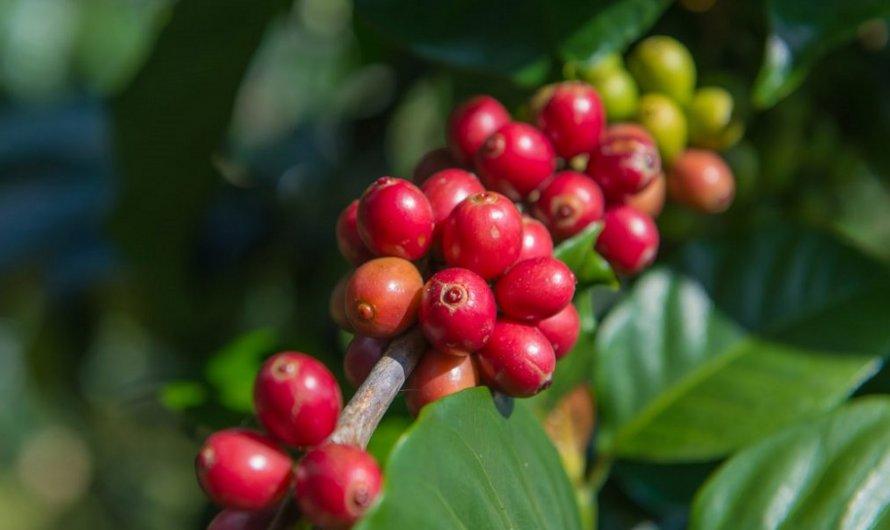 Cà phê Catimor là gì? Giống cafe này có ngon không?