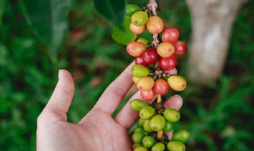 Cà phê Moka – Giống cà phê của Nữ Hoàng